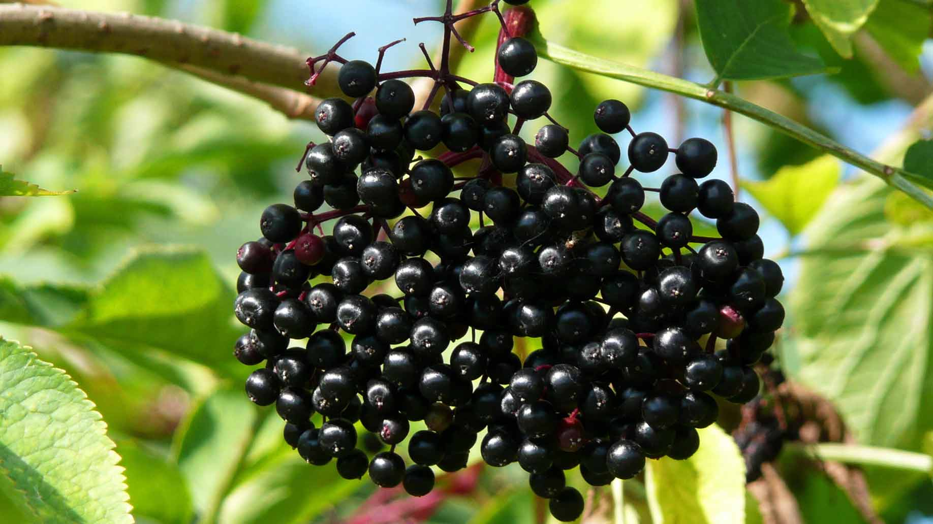 elderberry tree with fresh leaves and blackberries