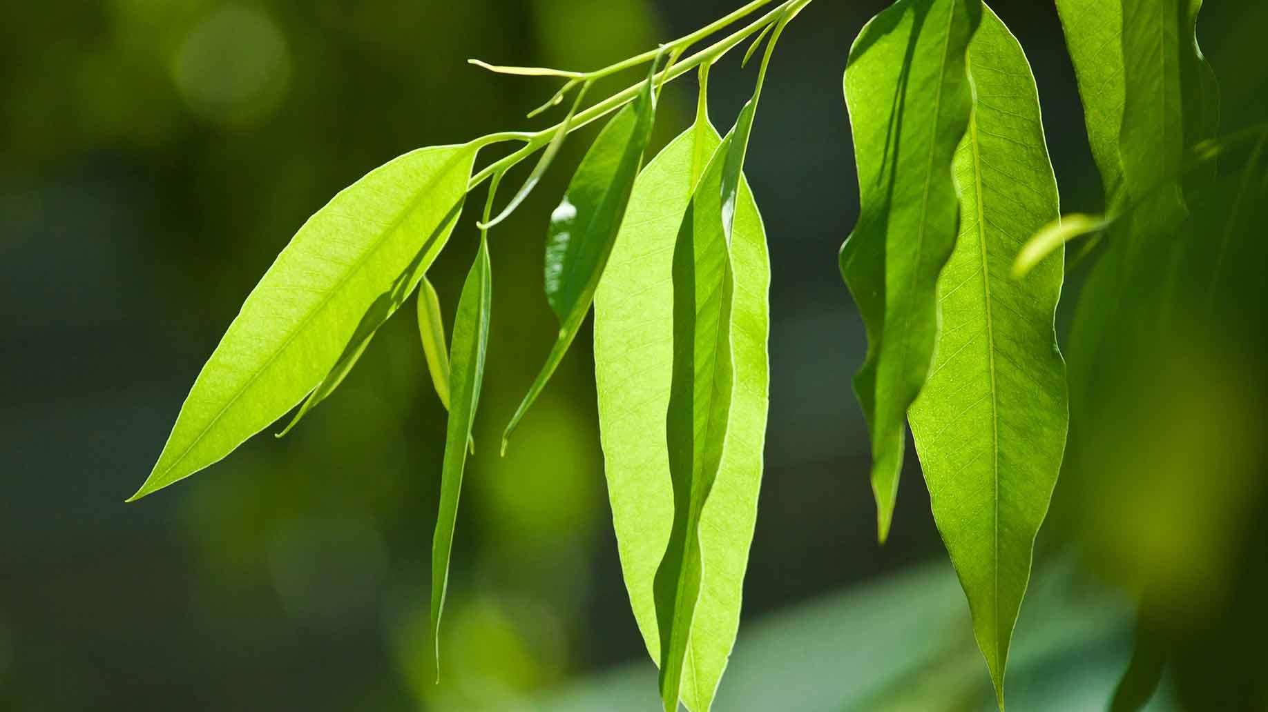 eucalyptus herb fresh green leaves