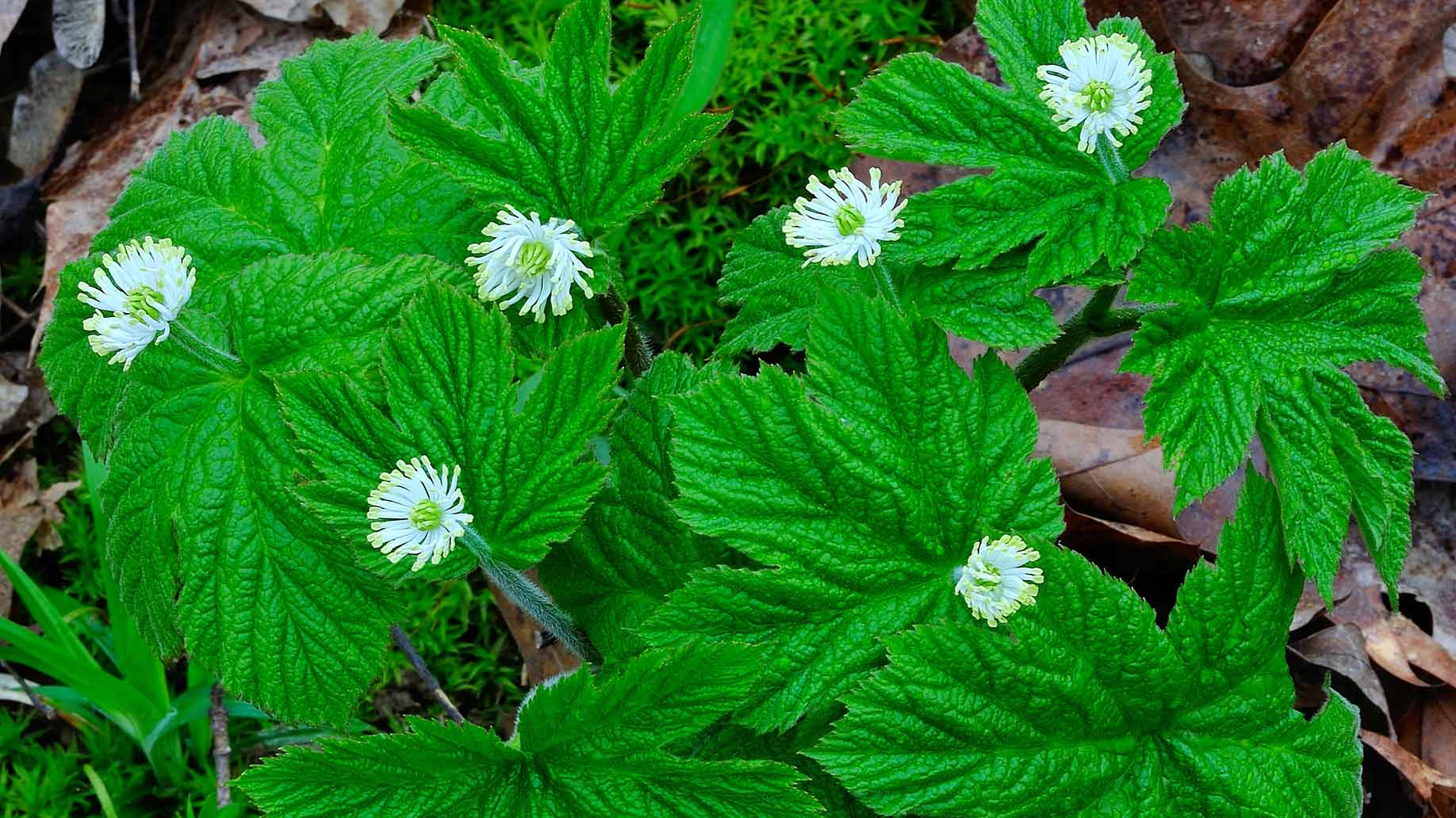 goldenseal herb with fresh green leaves and white flowers
