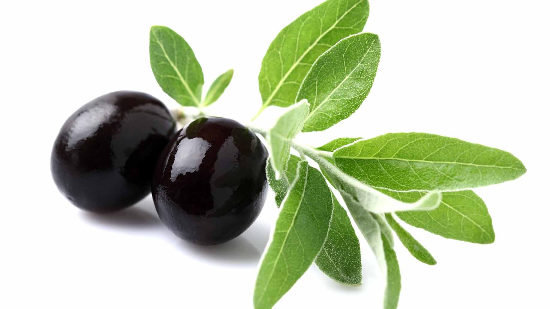 olive leaf extract green leaves black olives