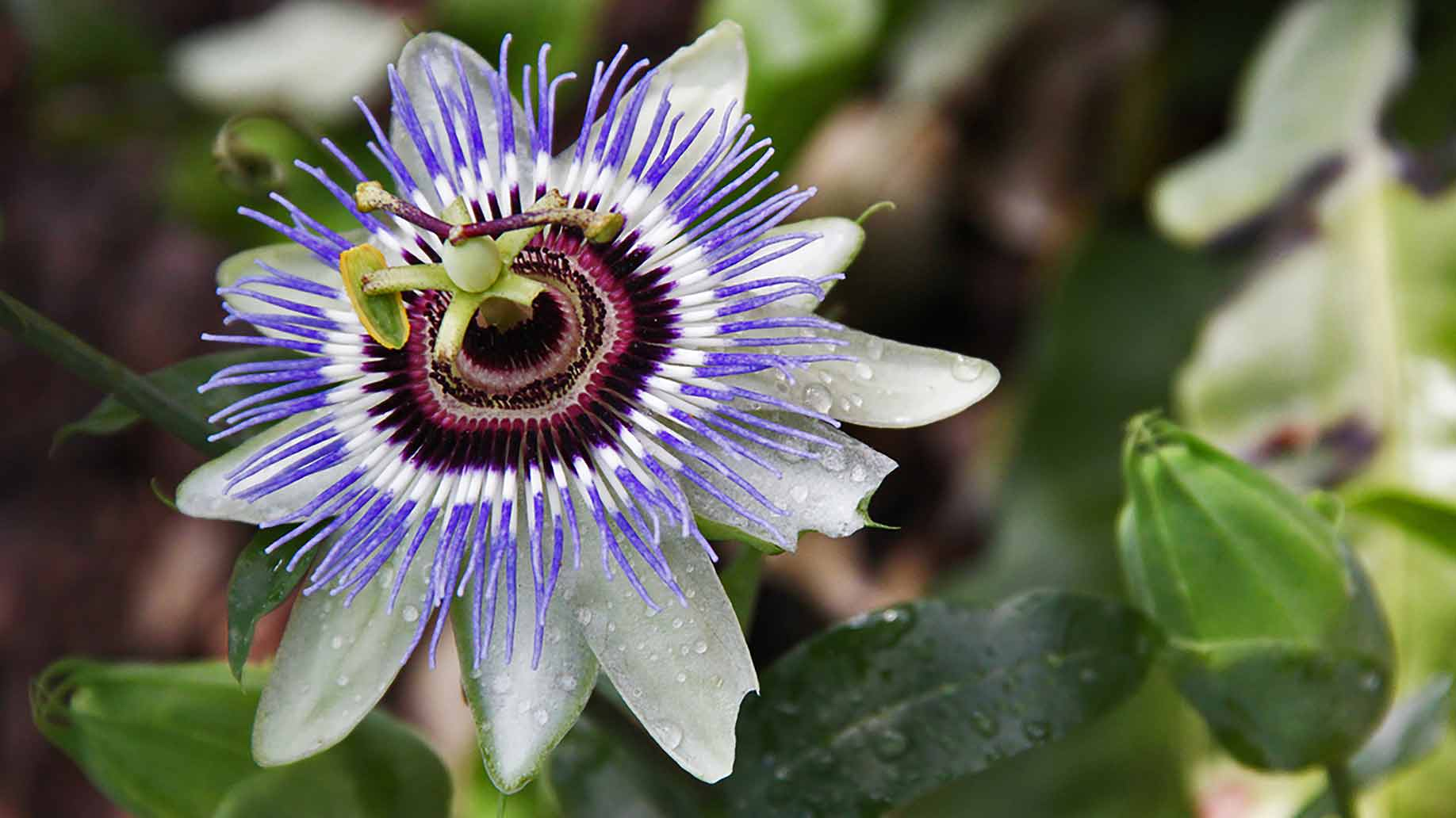 passion flower bloomed beautiful purple and white flower