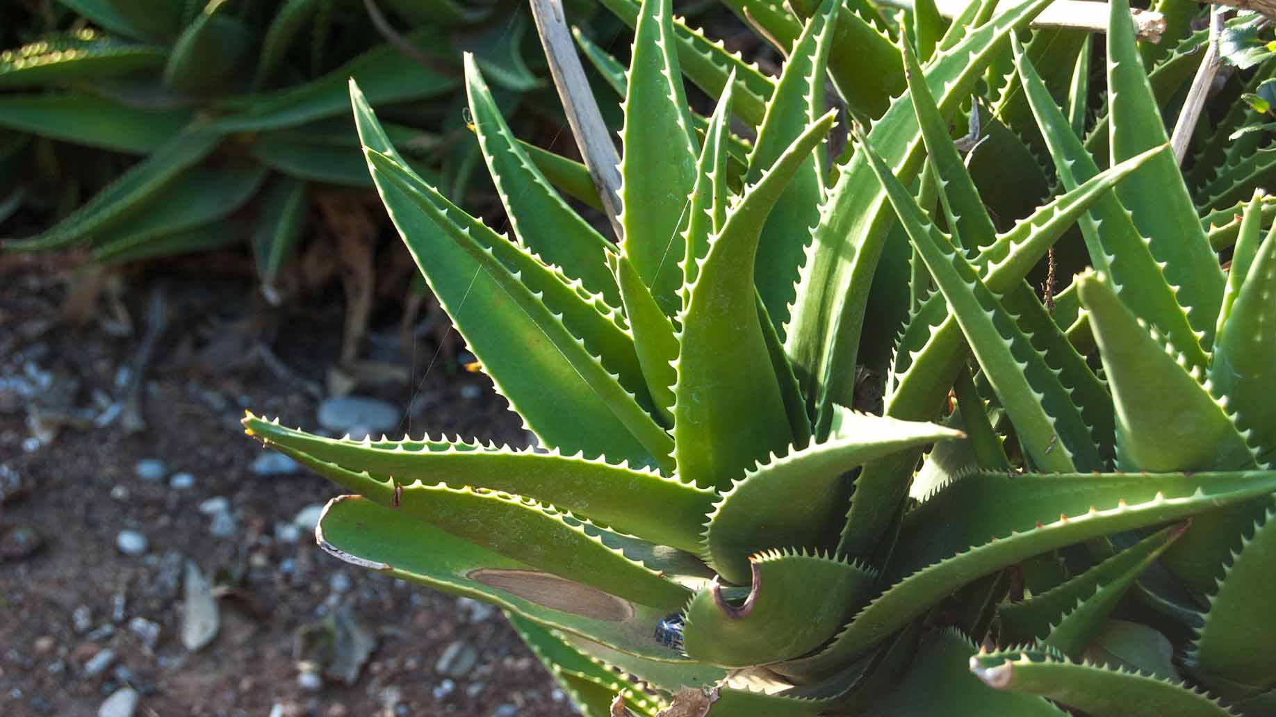 aloe vera whole plant fresh