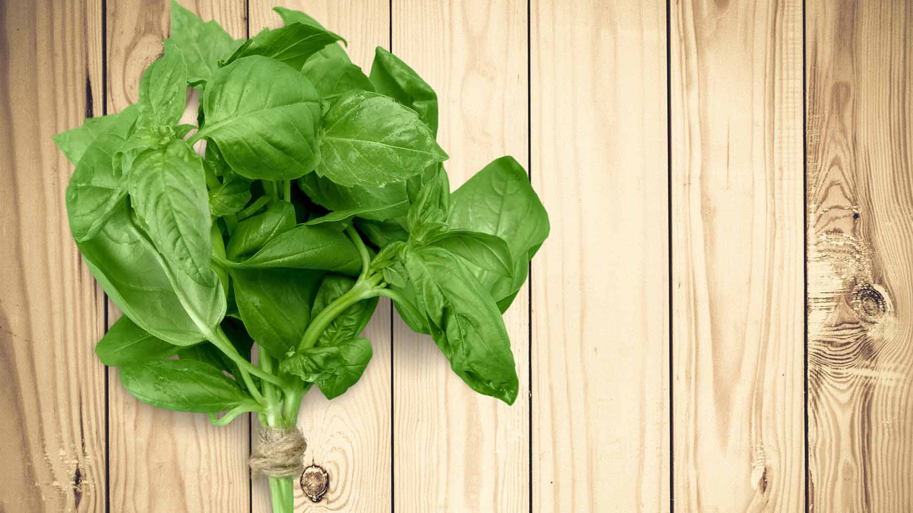 basil herb fresh organic green leaves bunch