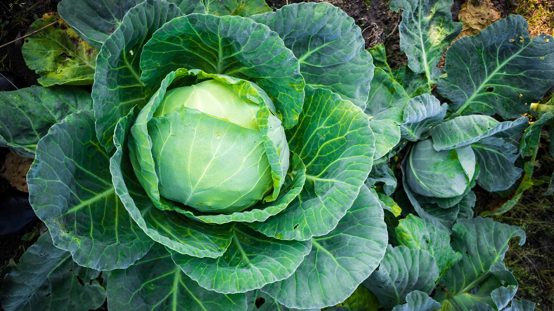 cabbage patch fresh green batches