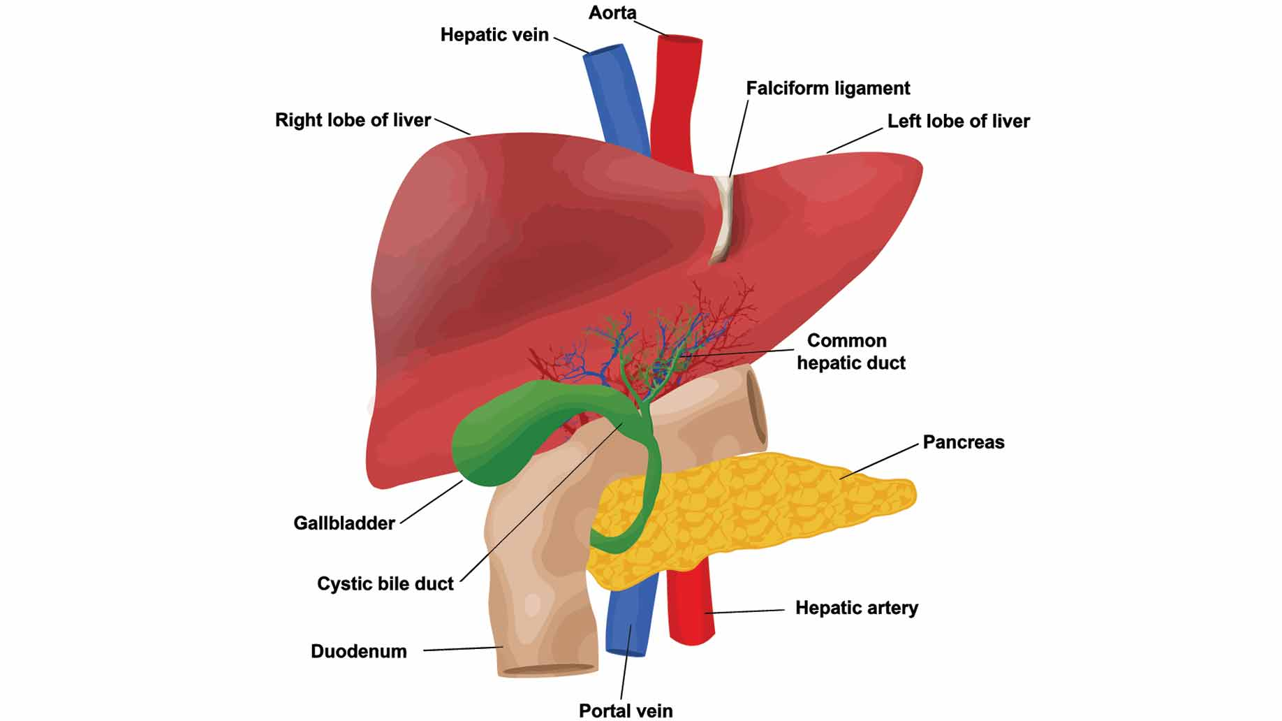 Natural Foods That Help Cleanse The Liver