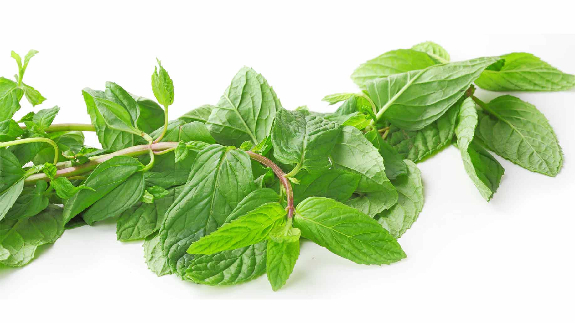 Oregano Herb Fresh Green Leaves