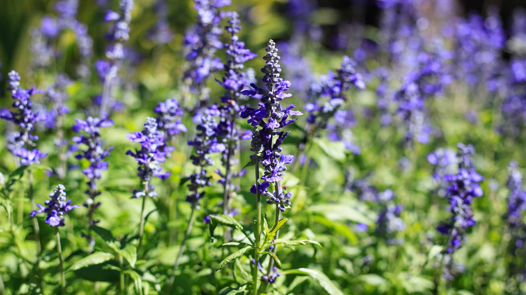 french lavender purple flowers natural remedy lowers high blood pressure hypertension