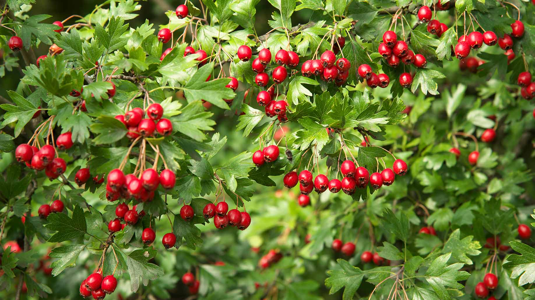 hawthorn red berries natural remedy lowers high blood pressure hypertension