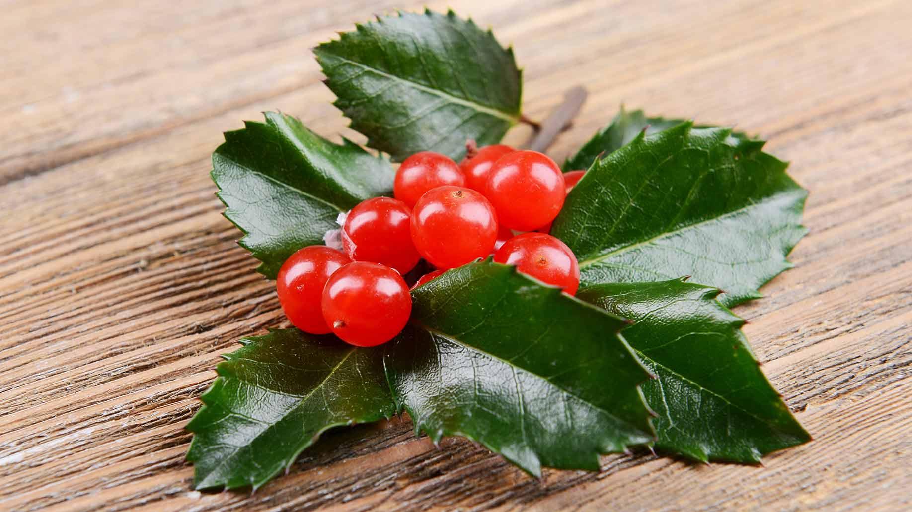 mistletoe herb red berries green leaves natural remedy lowers high blood pressure hypertension