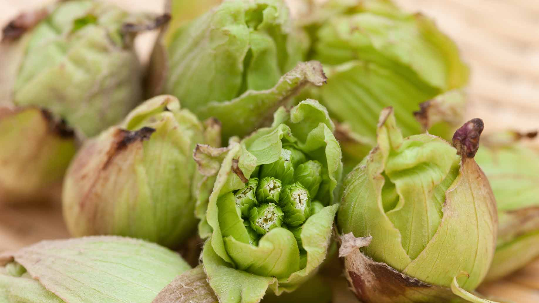 butterbur sprouts green seeds buds headaches migraines natural remedies