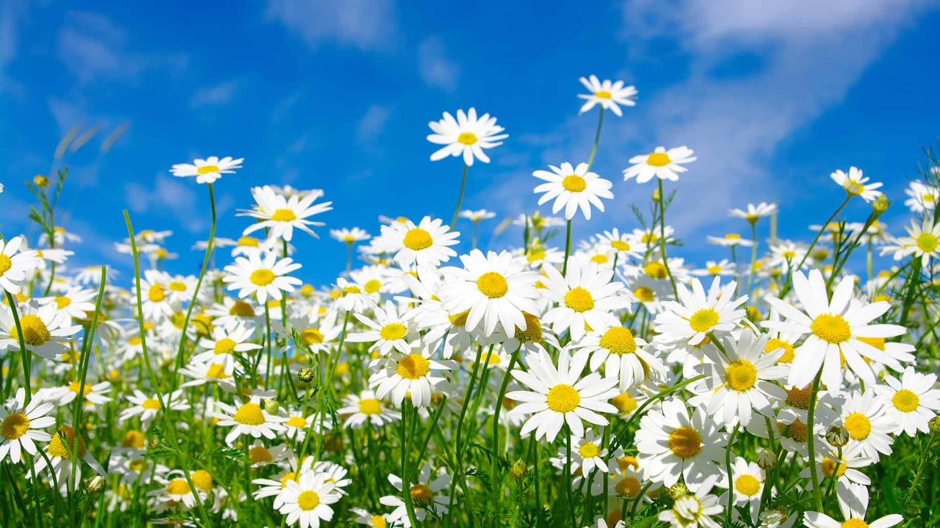 feverfew herb white yellow flowers headaches migraines natural remedies