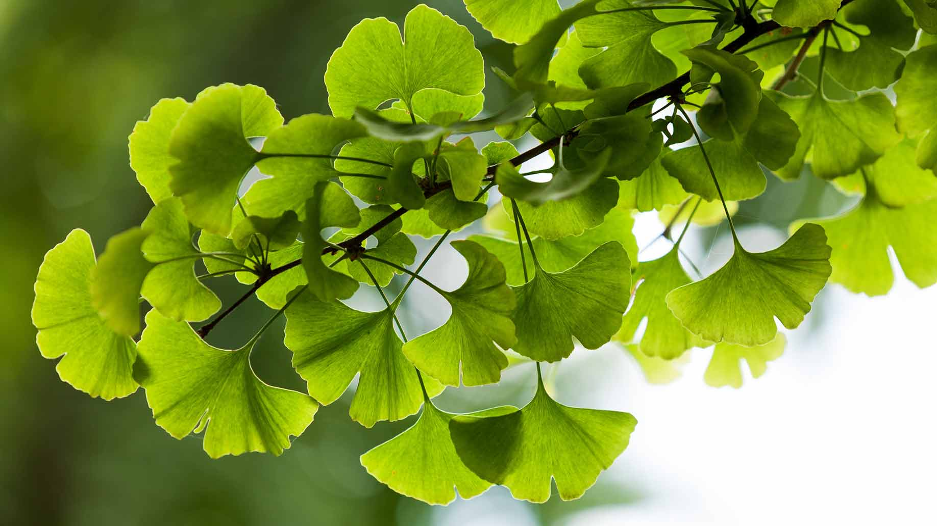 ginkgo biloba herb hormone imbalance menopause menses periods pms natural remedies