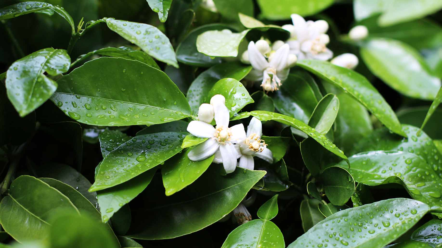 neroli bitter orange tree white flowers essential oil natural health benefits high blood pressure menopause muscle relaxant sedative