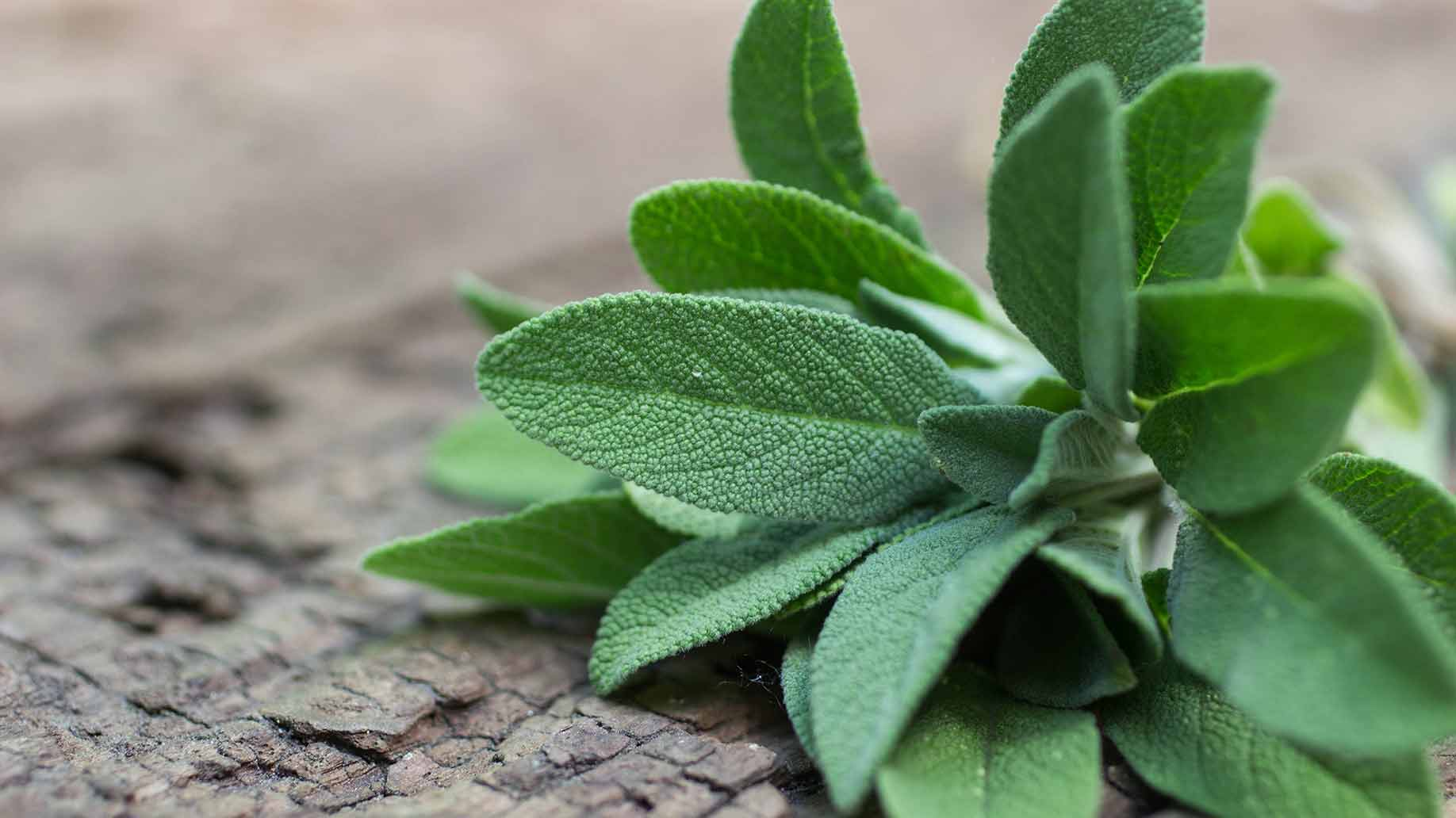 sage essential oil natural health benefits remedies cognitive function alzheimers disease fatigue fat metabolism cholesterol anti-inflammatory antioxidant antifungal antibacterial green herb
