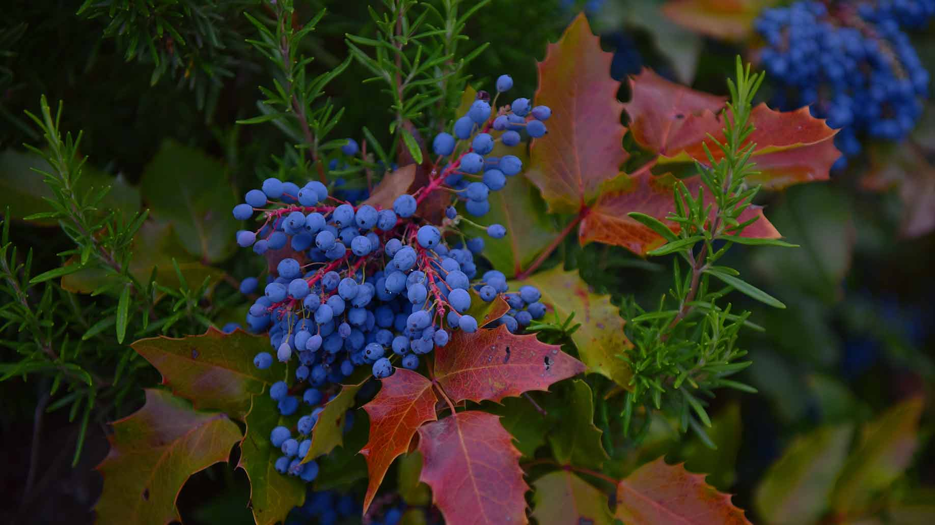 oregon grape root bush blue berries eczema psoriasis skin disease mahonia aquifolium antimicrobial anti inflammatory antifungal natural remedies