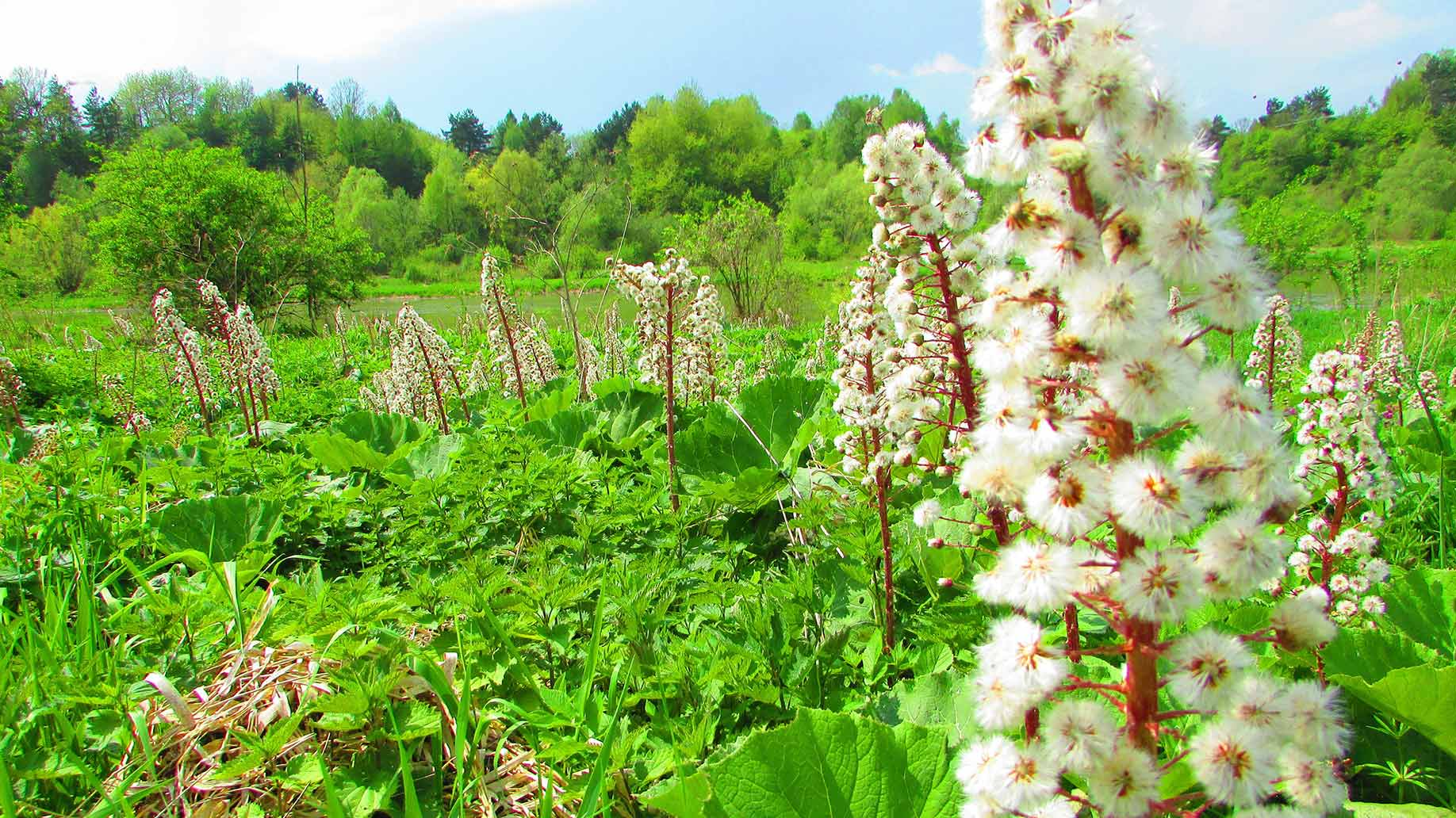 butterbur allergies natural remedies herb antihistamine white