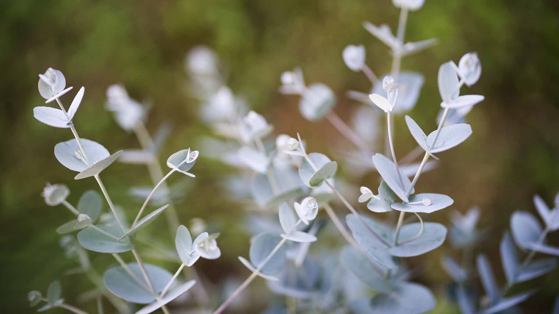 eucalyptus mint leaves invigorating refreshing natural diy hair shampoo ingredients