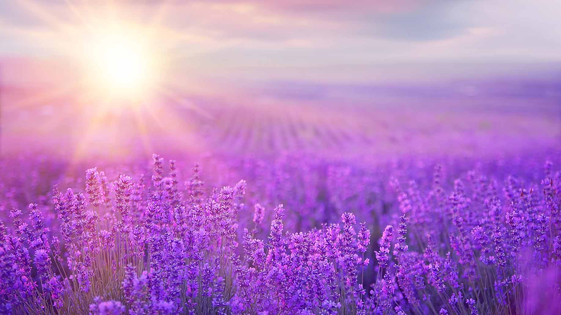 lavender purple flowers field sunshine insomnia sleep disorder natural remedy aid