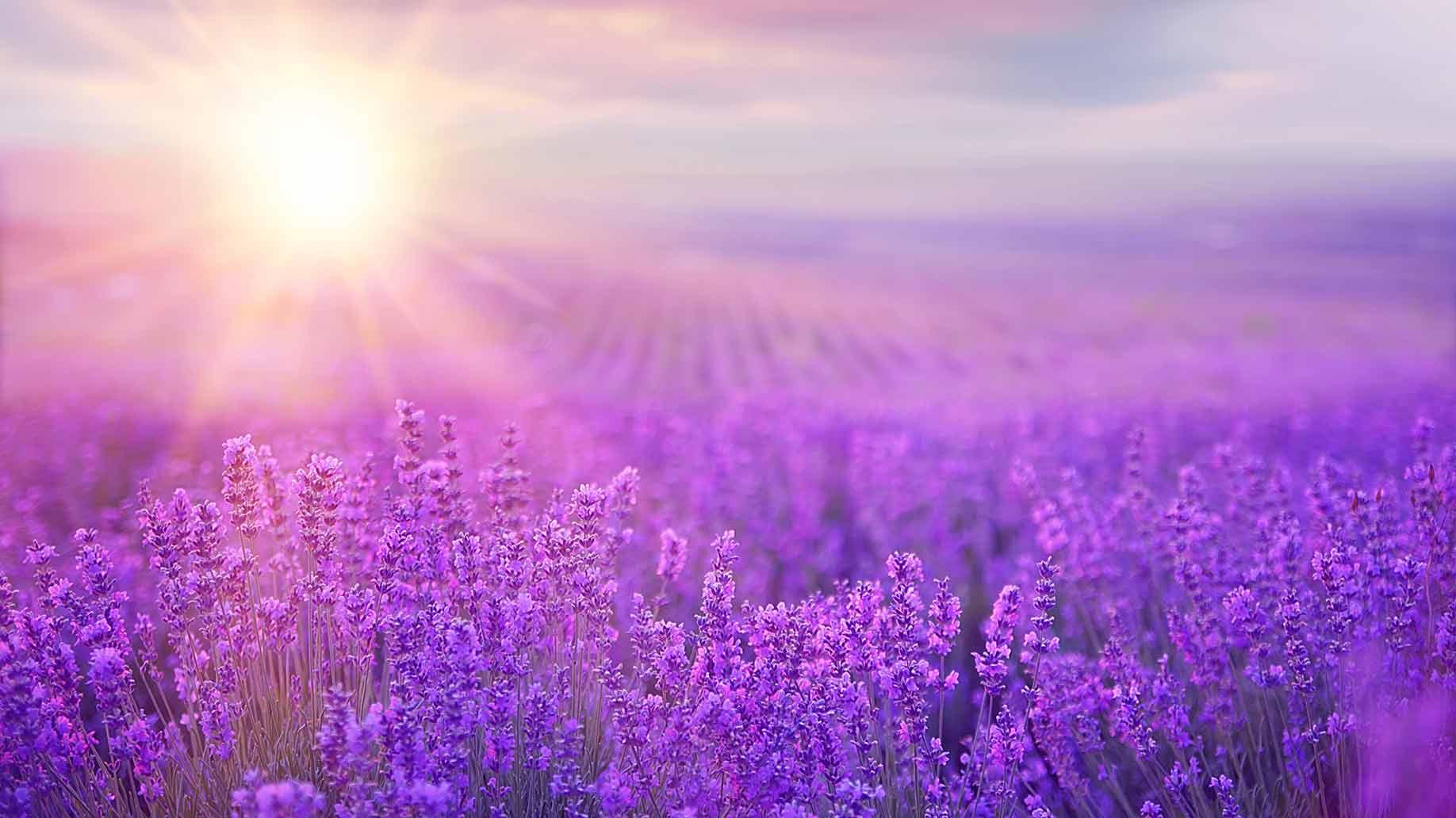 lavender purple flowers field sunshine insomnia sleep disorder natural remedy aid