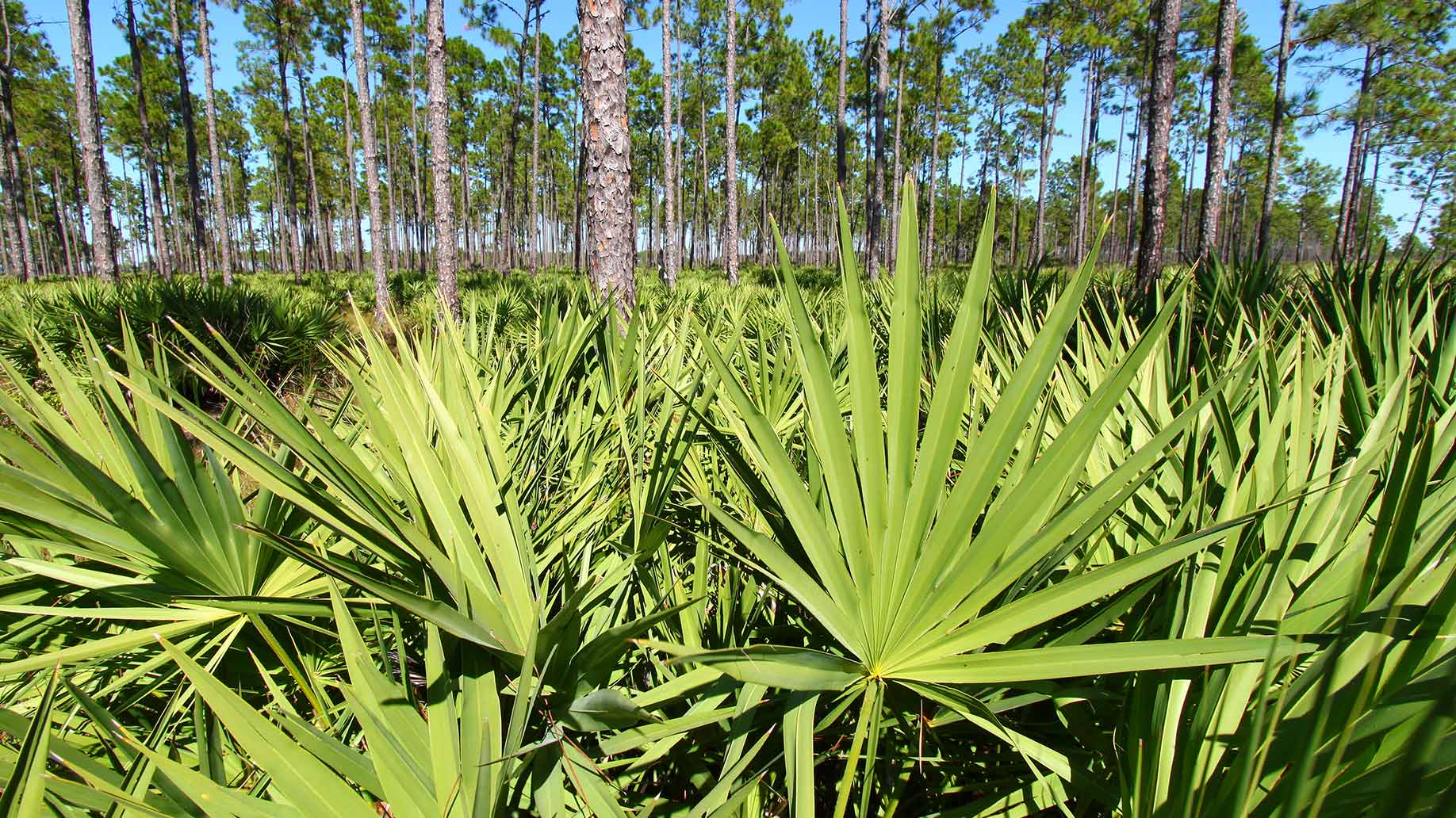 saw palmetto green plant hair loss balding thinning natural remedies