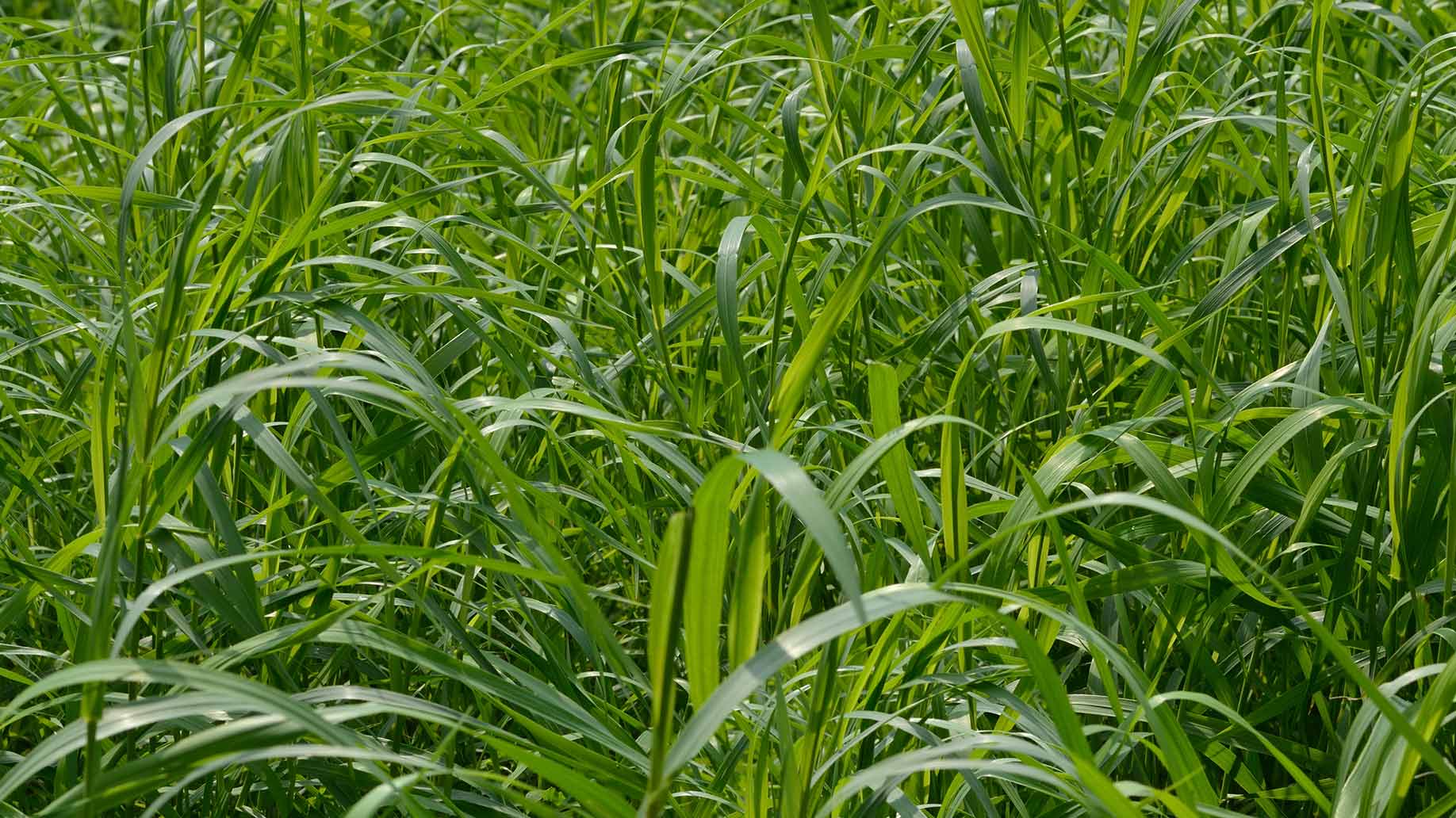 couch grass green field blades urinary tract infection uti natural remedies