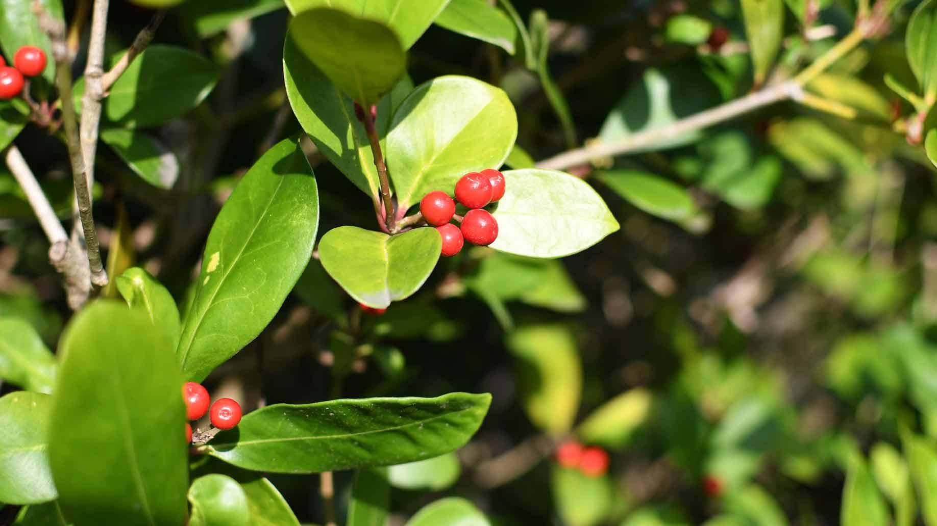 uva ursi bearberry red berries urinary tract infection uti natural remedies